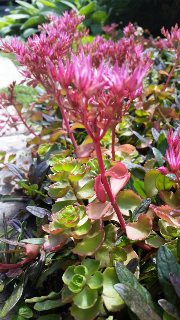 Dragons Blood Sedum