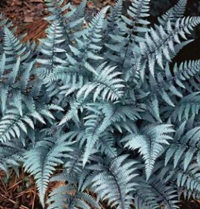 Ghost Fern Overview- silver leaves