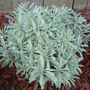 Silver Edge Lavender Overview- silver leaves