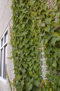 Boston Ivy Growing on Building
