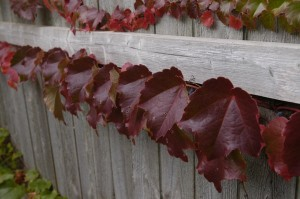 Boston Ivy Growing on the Fence