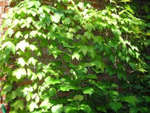 Boston Ivy On Brick Wall