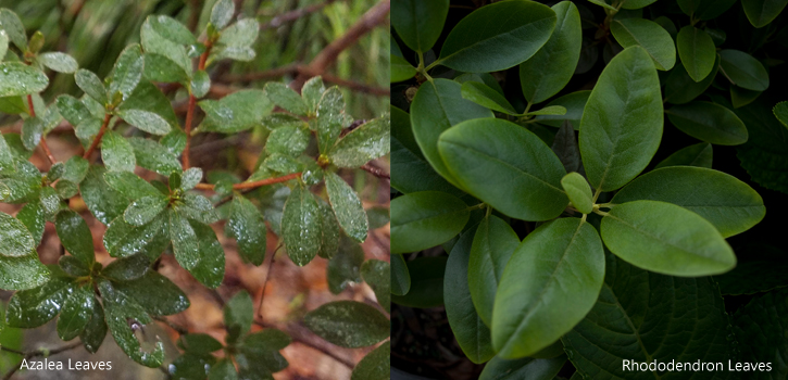Azalea Leaves (left) Rhododendron Leaves (right)