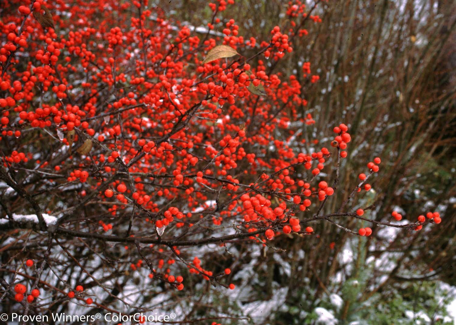 Berry Heavy Winterberry Holly Winter