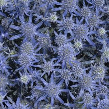 Blue Glitter Sea Holly