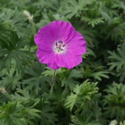 New Hampshire Geranium