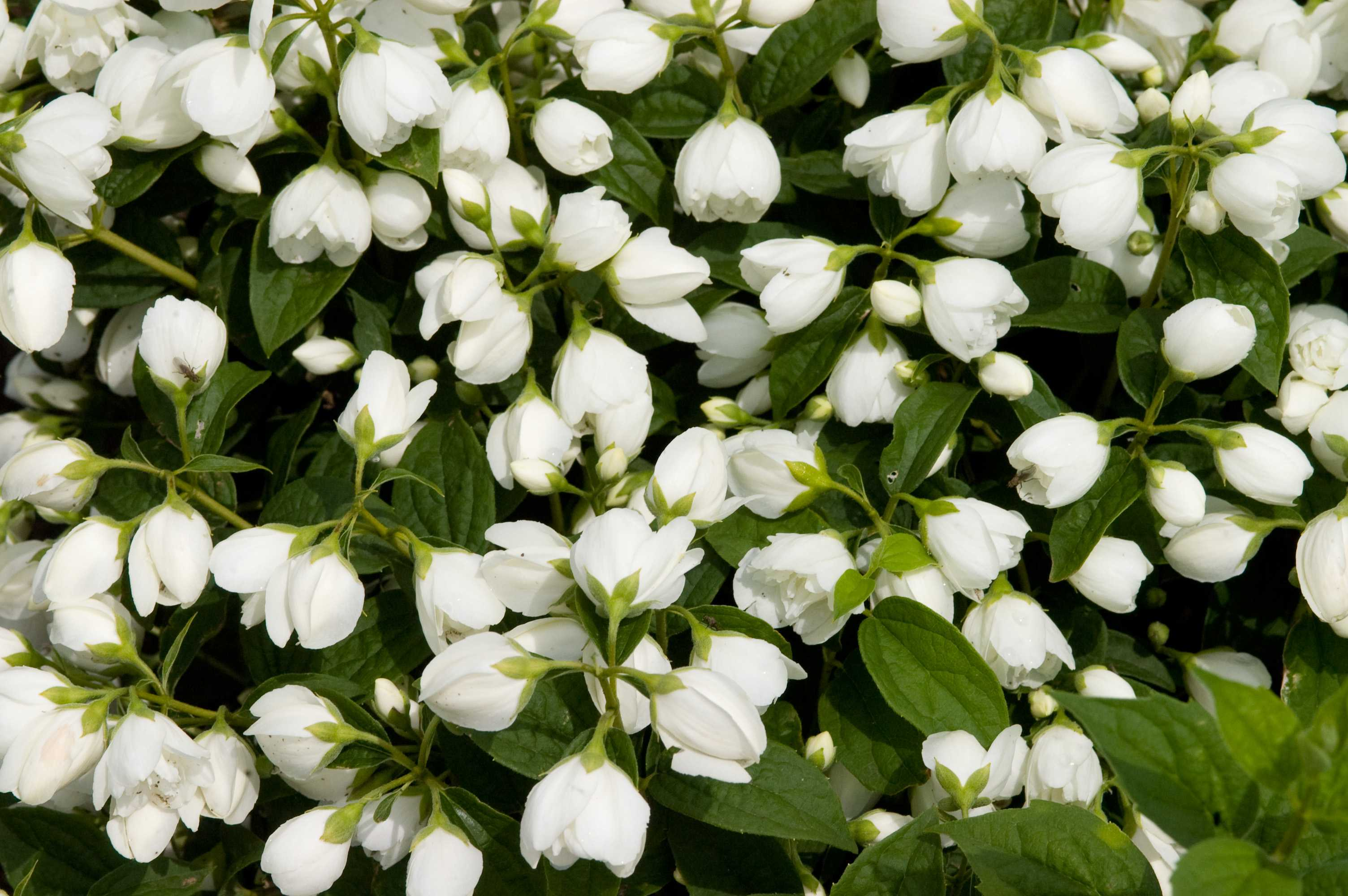 Snowbelle Mock Orange