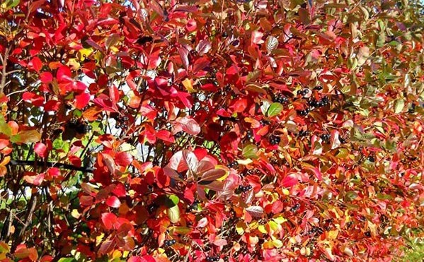 Aronia Shrub Fall Color