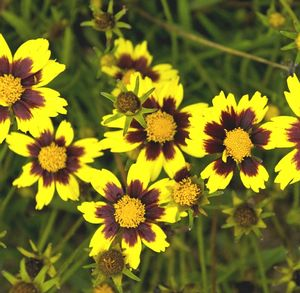 Big Bang Cosmic Eye Coreopsis