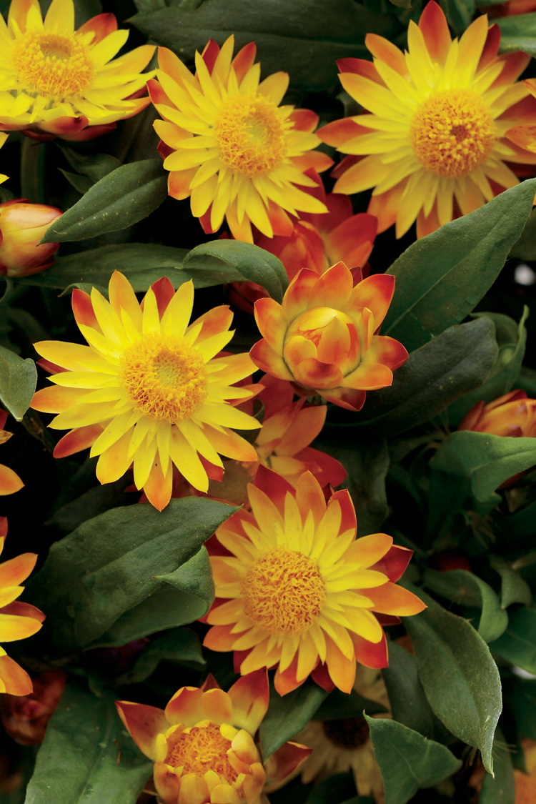 Flame Sundaze Strawflower