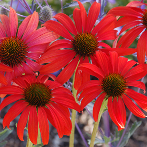 Tomato Soup coneflower