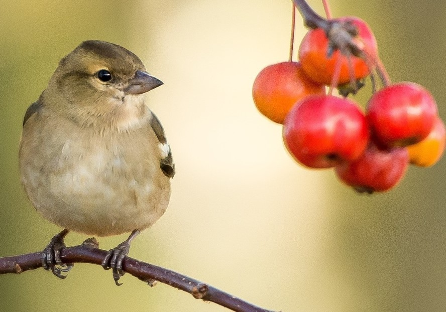 Birds Love Berries of Many Kinds
