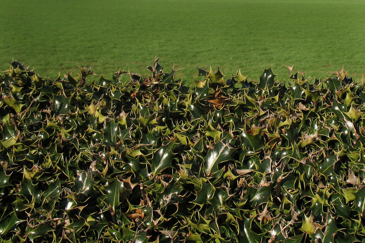 Holly are popularly used as sheared formal hedges