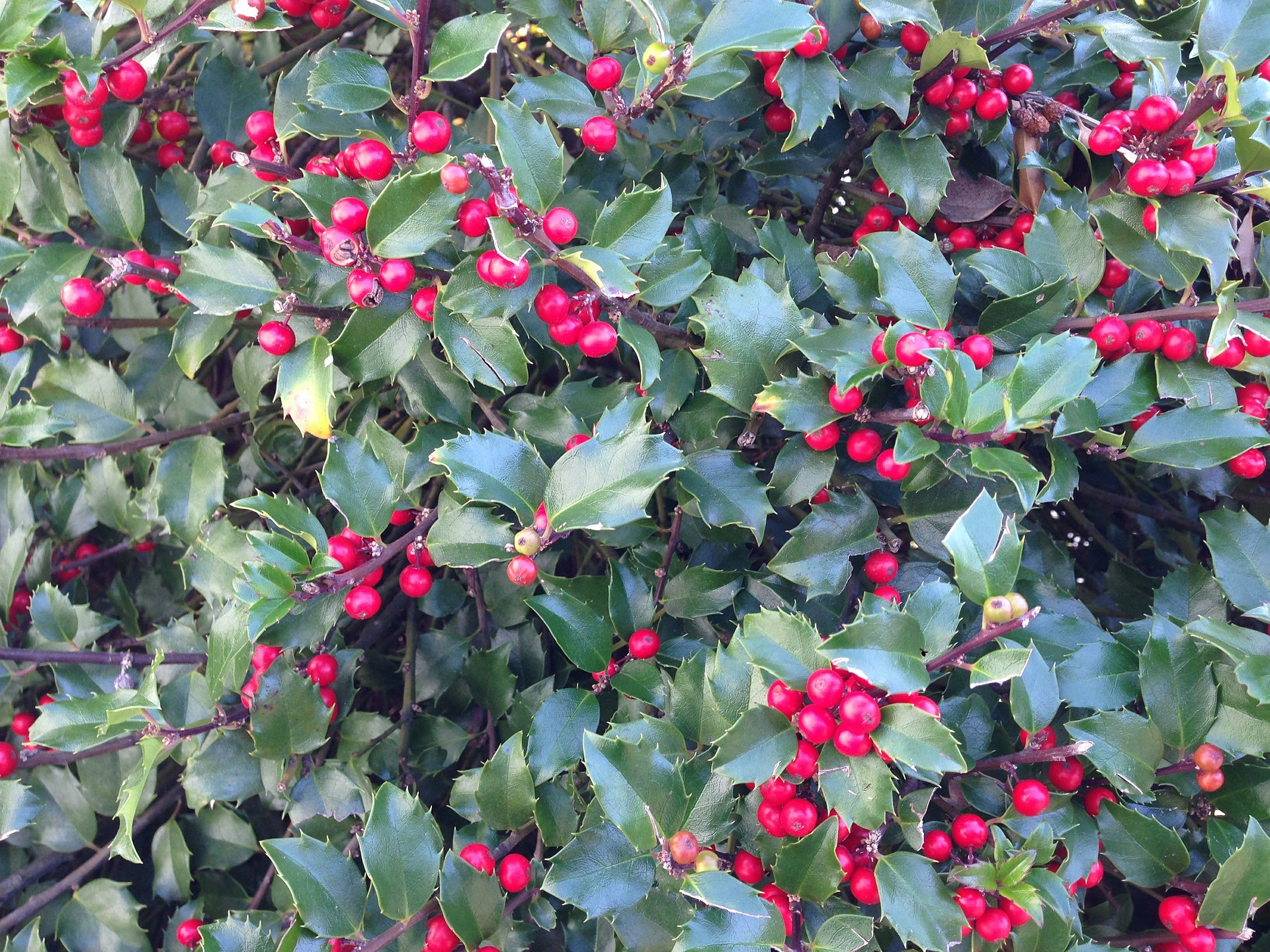 Are Holly Berries Poisonous To Humans Amp Animals