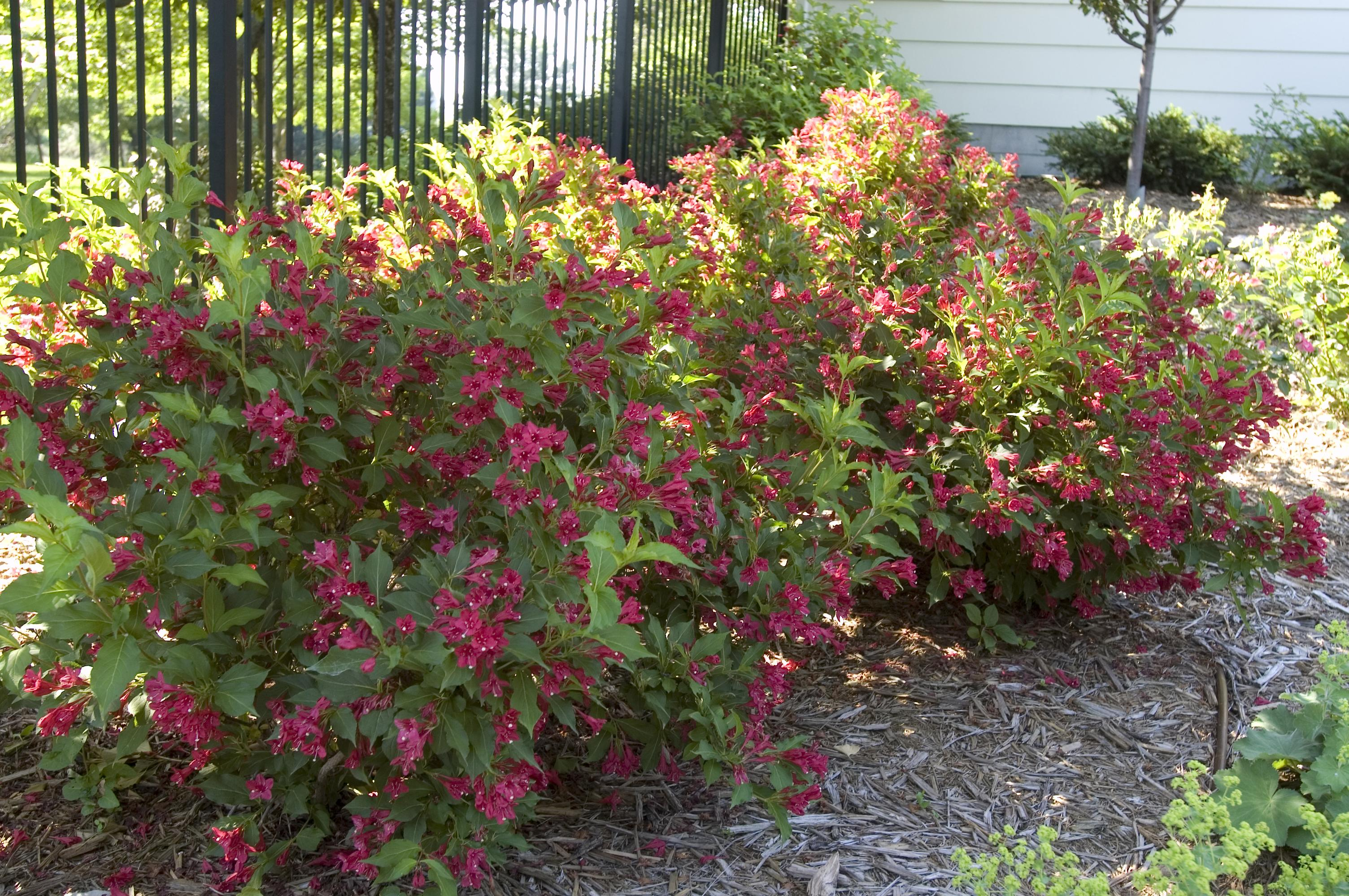 8 plants that rebloom for 3 seasons of flowers. Black Bedroom Furniture Sets. Home Design Ideas