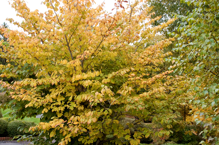 Common Witch Hazel in the Fall
