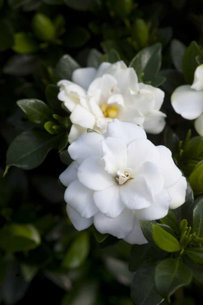 Gardenia shrubs rock a cheat sheet for making them work for you mightylinksfo