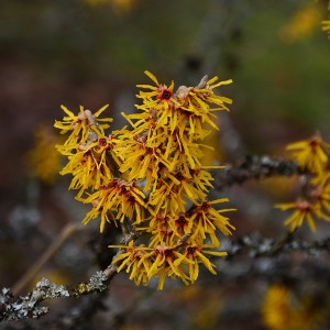 Common Witch Hazel Blooms