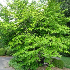 Large, bright green Common Witch Hazel
