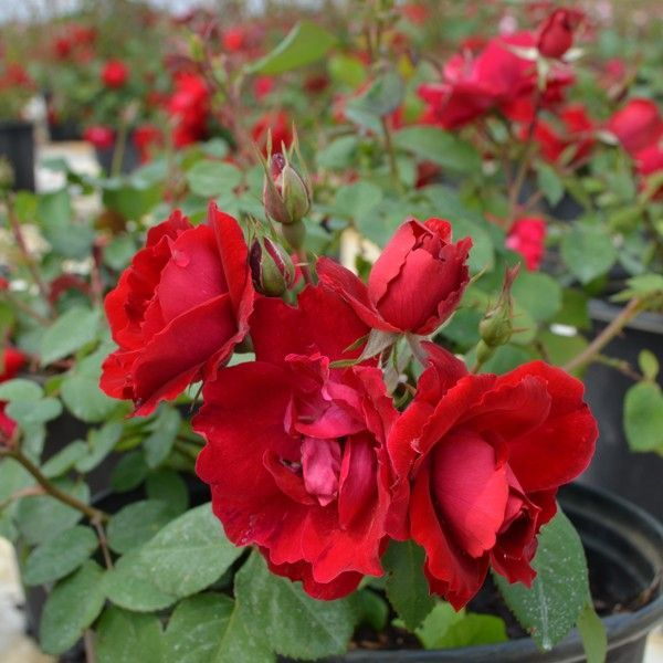 Advice For Overwintering Your Roses