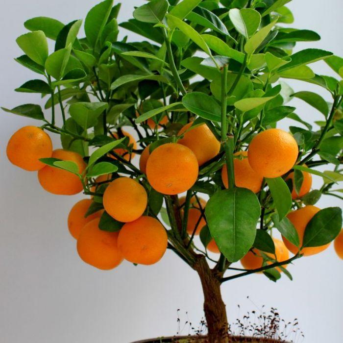 Indoor Winter Citrus Care