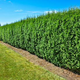 Privacy Shrubs & Hedges