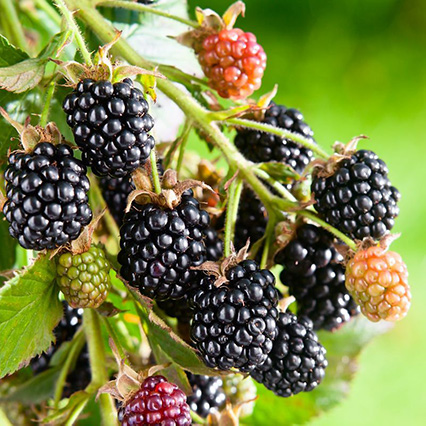 Blackberry Bushes