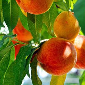Peach Trees