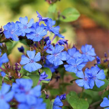 Blue or Purple Blooming Perennials