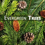 Evergreen Cateogry
