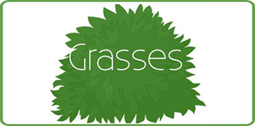 Shop Our Wide Selection of Ornamental Grasses